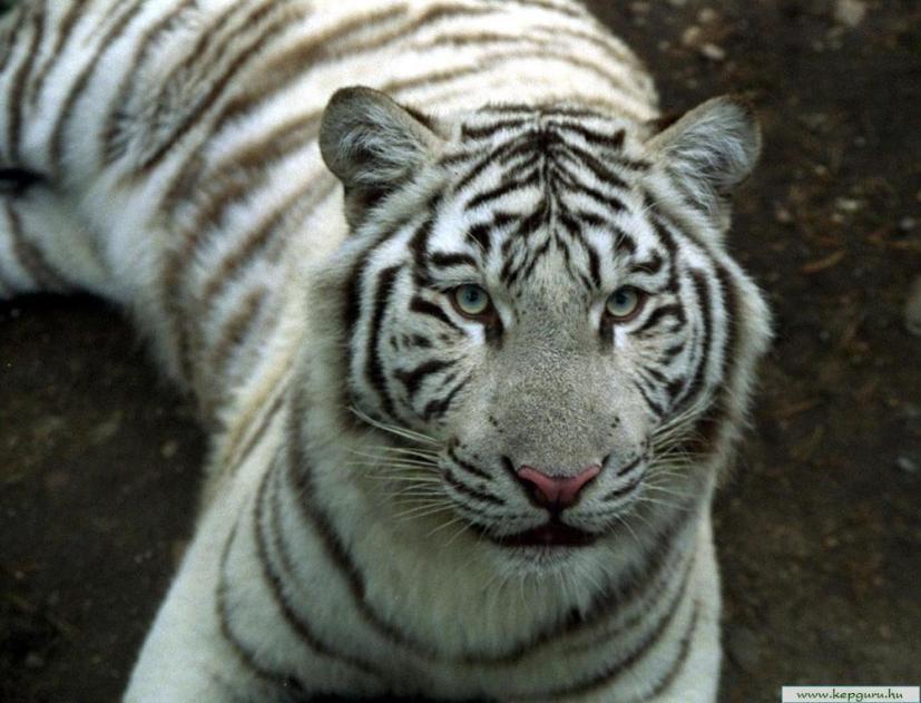Тигр (лат